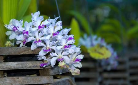 gigantea: Beautiful pink Rhynchostylis gigantea orchid in garden. Stock Photo