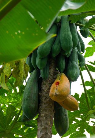 Raw papaya and ripe on the tree. Stock Photo