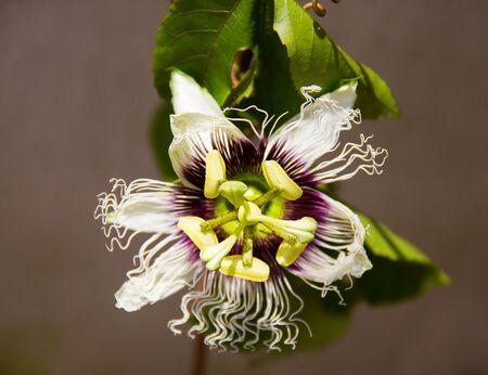 passion fruit flower: Passion fruit flower on the vine in the garden naturally.
