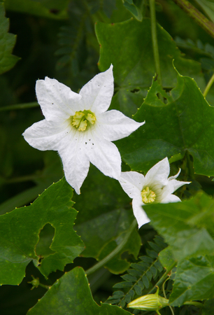 Flower of ivy gourd on the vine in nature background. Stock Photo