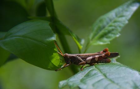 power giant: Brown Grasshopper on the green grass in the late bright sunshine. Stock Photo