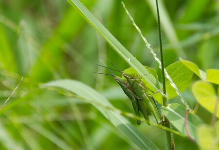 Green Grasshopper mating on the grass in meadow.