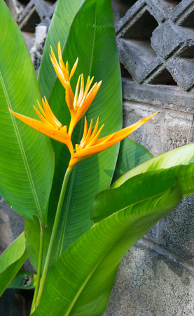 Bird of paradise (Strelitziaceae) flower in the garden beside the cement walls. Stock Photo