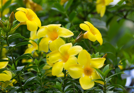 Allamanda cathartica flower blooming on tree in the garden.