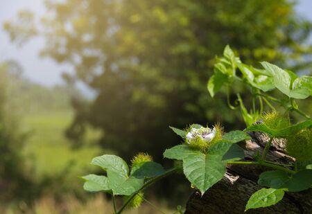 Fetid passionflower (Passiflora foetida Linn) on the vine growing on a tree.