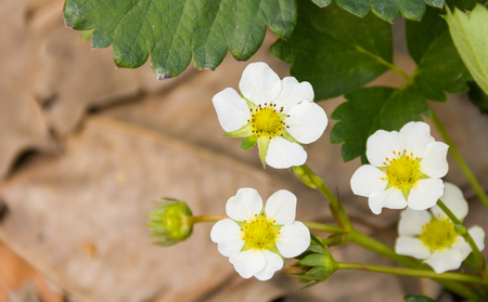 Strawberry flower blossom in the garden Stock Photo