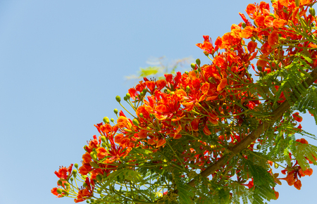Flam boyant, The Flame Tree, Royal Poinciana flower buds and the flowers bloom beautifully on the tree is on a blue sky background.