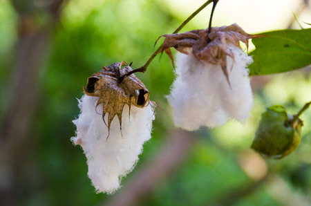 Cotton (scientific name: Gossypium hirsutum) Cotton flower on tree amidst natural background blur. Stock Photo