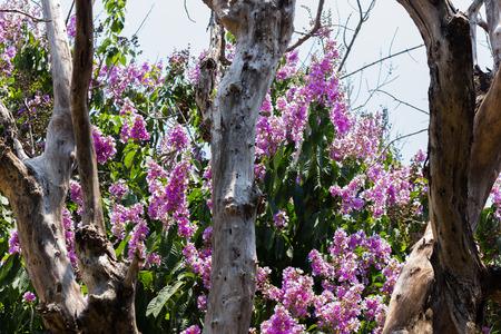 Queen S Flower Scientific Name Lagerstroemia Speciosa Purple