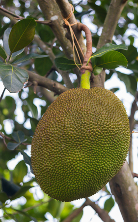 Jackfruit (Artocarpus heterophyllus: scientific name) fruit on the trees in the garden.
