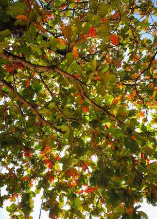 Sea almond (scientific name: Terminalia catappa) colored leaves that are either green, yellow, orange, red and brown on the tree, under blue skies.