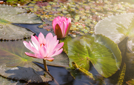Water Lily (Nymphaea lotus), the pink blossoms bloom in ponds.