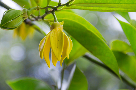 Ylang-Ylang yellow flowers blooming and fragrant on the tree.