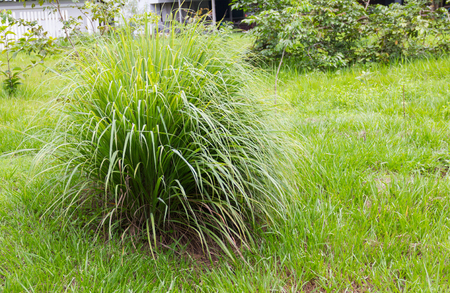 A clump of Lemon Grass growing in the garden on a natural background.
