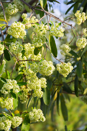 Devil Tree (scientific name: Alstonia scholaris) white flowers with pungent odor blossom on a tree, with warm sunshine in the morning. Imagens - 111008769