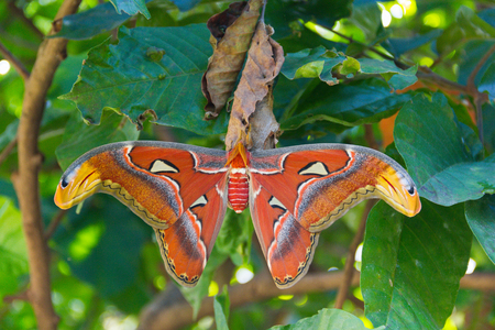 Atlas moth (scientific name: Attacus atlas) is perched on a leaf Santol in the garden. Stock fotó