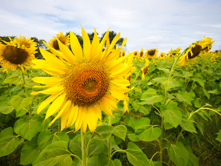Sunflowers are blooming on trees in the garden.