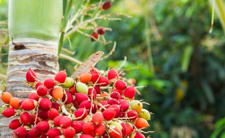 Changeable Lizard, Red-headed Lizard, Indian Garden Lizard perch on a bunch of Manila palm fruits natural background blur. Фото со стока