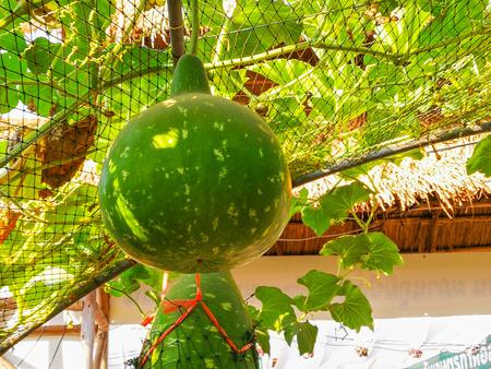 Bottle Gourd (scientific name: Lagenaria siceraria) fruit hanging on the vine under the lattice facade.