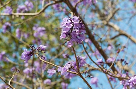 Jacaranda obtusifolia purple flower blooming on a tree beautifully on natural background blur.