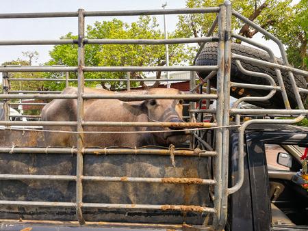 Buffalo on the truck to transport to market cattle and buffalo. Фото со стока
