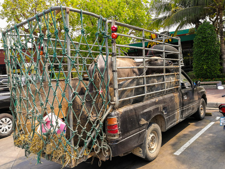 ROI et, Thailand- March 2, 2019: Buffalo on the truck to transport to market exchange trading cattle and buffaloes. Фото со стока - 120752897