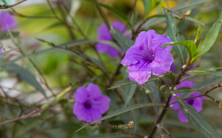Ruellia tuberosa purple flowers blooming beautifully on a tree in the garden.