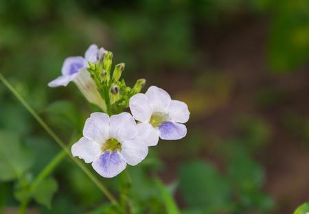 Ganges Primrose, Ganges River asystacia, Chinese violet, Coromandel, Creeping foxglove, Baya, Yaya, Indian asystacia (scientific name: Asystasia gangetica) flower blooming on tree in the garden.