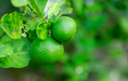 Green Lime hanging on the tree in the garden with nature background blur. Фото со стока