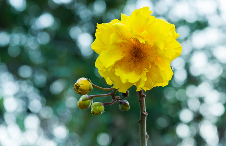 Yellow cotton, Silk Cotton Tree (scientific name: Cochlospermum religiosum) is blooming in nature with bokeh background.