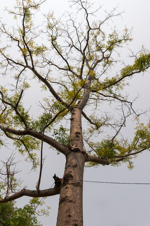 Hog plum tree (scientific name: Spondias pinnata) in natural garden, is the spring
