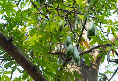 White silk cotton tree, Ceiba, Kapok, Java cotton (scientific name: Ceiba pentandra) raw green fruits hanging on a tree in nature.