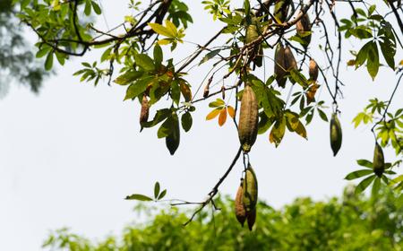 White silk cotton tree, Ceiba, Kapok, Java cotton (scientific name: Ceiba pentandra) green raw and brown ripe fruits hanging on a tree in nature. Фото со стока