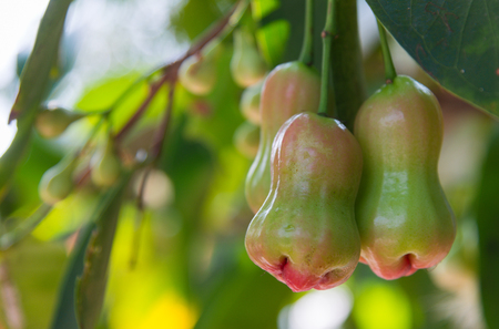 Rose Apple (Thai people called chomphu) young fruit hanging on tree in the garden on the natural background.