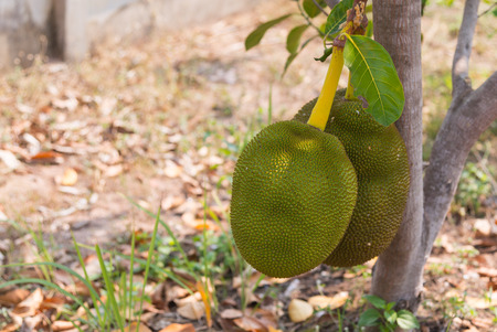 The jackfruit growing on the tree in the garden in summer of Thailand.
