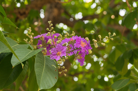 Lagerstroemia speciosa Pers purple flowers are blooming beautifully on the tree in summer. Фото со стока