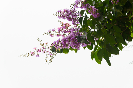 Lagerstroemia speciosa Pers purple flowers are blooming beautifully on the tree on white background in summer. Фото со стока