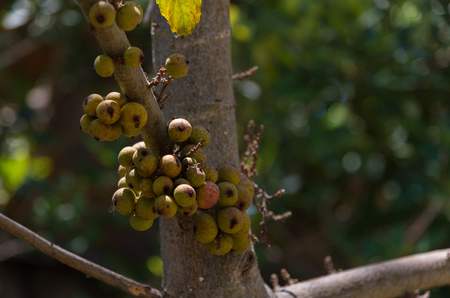 Cluster fig fruits on the trees in Thailand on natural background blur. Banco de Imagens