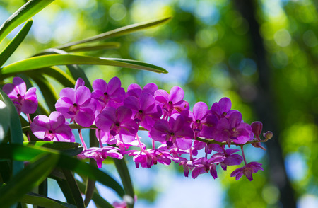 Purple Vanda orchids are blooming beautifully in the garden, on bright sunlight. Фото со стока