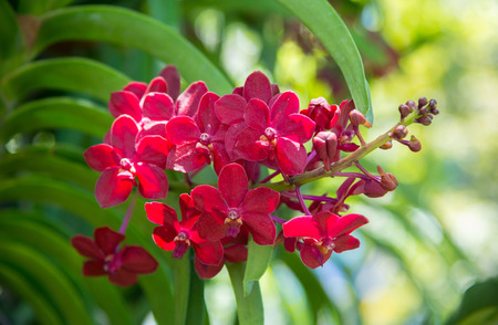 Red Vanda orchids are blooming beautifully on tree in the garden, on bright sunlight.