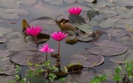 Lotus stem water, Red indianwater lily (Scientific name: Nymphaea lotus Linn) red flowers blooming in the pond in the morning.