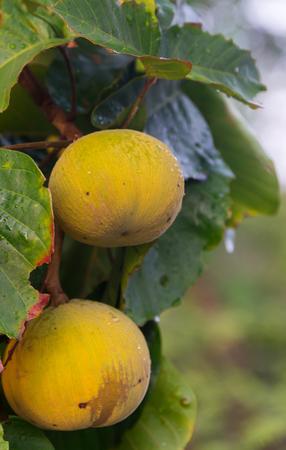 Santol (scientific name: Sandoricum koetjape) fruit hanging on a tree in the garden.