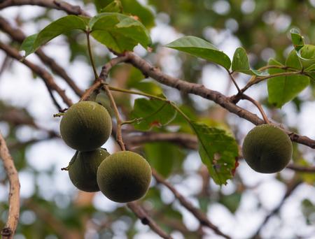 Green raw Santol fruits hanging on santol tree in the garden.