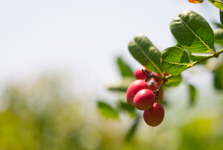 Bengal Currants (scientific name: Carissa carandas) fruit growing on a tree in the garden.