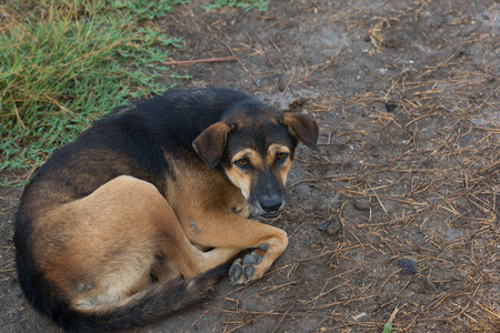 Black and Brown dog is lying on the ground with panic symptoms.