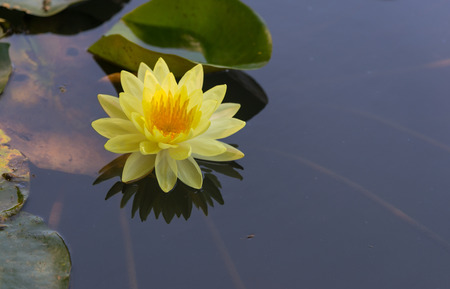 Yellow lotus blooming beautifully in the pond.