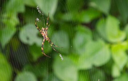 Great Argiope Spider (Argiope aemula) in the center of the project web. Waiting for prey.