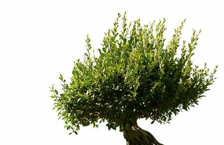 Bonsai tree isolated on white background Фото со стока