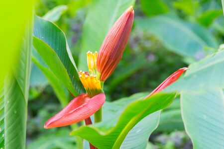 Red Flowering banana (Scientific name: Musa ornata Roxb) flowers blooming in the garden with the warm sunshine in June. Фото со стока