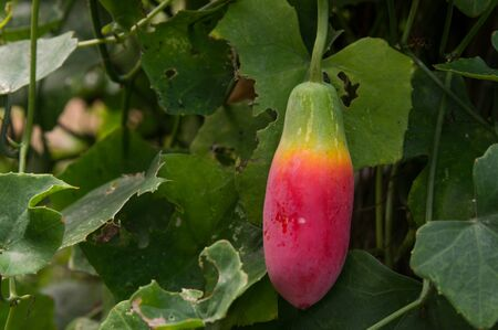 Ivy gourd (scientific name: Coccinia grandis), red ripe fruit hanging on the vine.